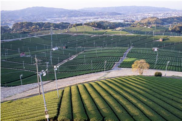 約70haの丘陵地に見渡す限りに広がる美しい〝ハ女中央大茶園 1