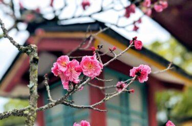 春の訪れを告げる梅の花 九州福岡の梅観スポット3選