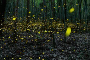 ホタルの生態と生息地、乱舞するホタルが観賞できるスポット5選(西日本)