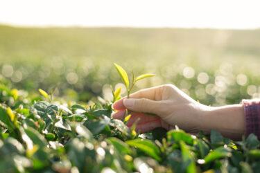 新茶の甘みを楽しめる5月。玉露日本一の産地、八女の最盛期
