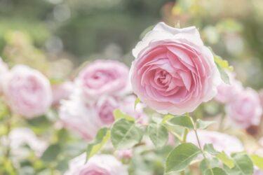 華やかに咲き誇るバラの香りに包まれて…広島県のバラ園9選